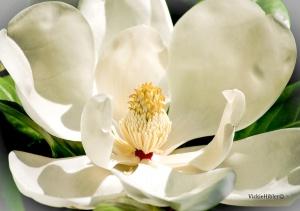 Magnolia- copyright 2014